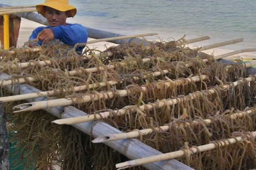 Rodney Seaweeds Rack Farming