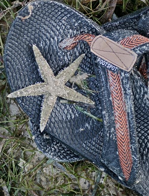 Starfish Echinoderm