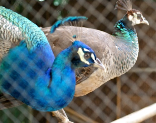 "Peacock Peahen ""Baker's Hill"" Puerto Princesa Palawan"