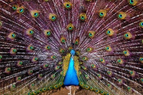"Peacock ""Baker's Hill"" Puerto Princesa Palawan"