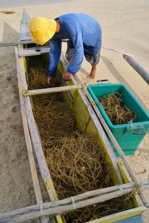 """Seaweed Farmer Banca harvest seaweed """"underwater nurseries"""""""