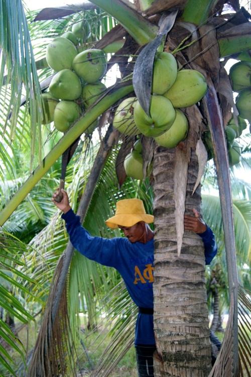 Coconut Buko Buco Harvesting