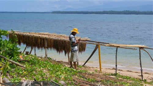 Seaweed Farmer Farming Hanging Out To Dry Bamboo Racks