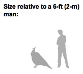 "Peacock Man ""Relative size"""