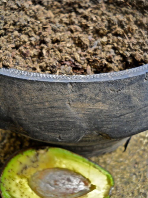 "Gardening Avocado Propagation ""Retired No Way"" stick the crown in the soil."