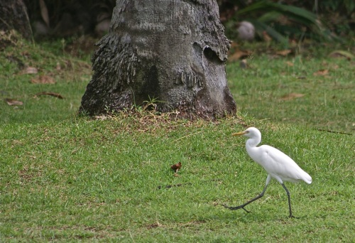 """Hunting in paradise. The egret's assessment of his condition right now."" retirednoway"