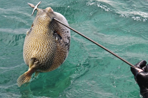 """retirednoway, """"Right behind the mouth! You can see the fish is quite large already. Adrian speared it at a depth of less than 10 meters."""""""