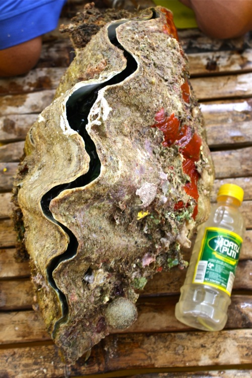 """retirednoway, """"Since we were still hungry, we ate this clam for lunch. Raw of course with vinegar for some seasoning."""""""