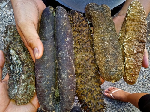 retirednoway,Sea Cucumber,mindoro