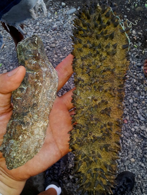 Sea Cucumber, retirednoway, mindoro